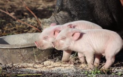 Won't You Smile With Us? [Baby Pigs Video]